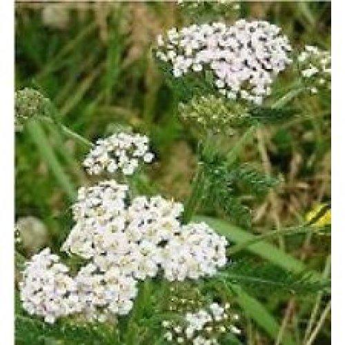 Wild Flower - Meadow Mixture - Tall Herbs - 25g