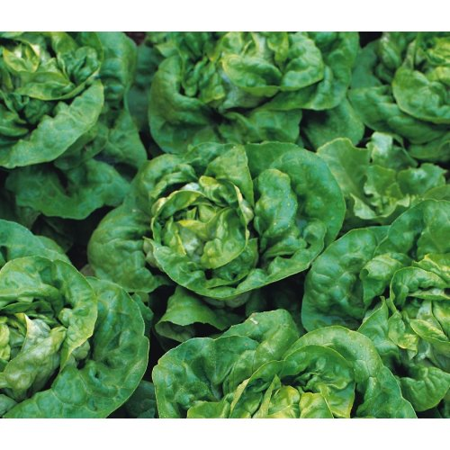 Vegetable - Lettuce - Buttercrunch - 200 Seeds