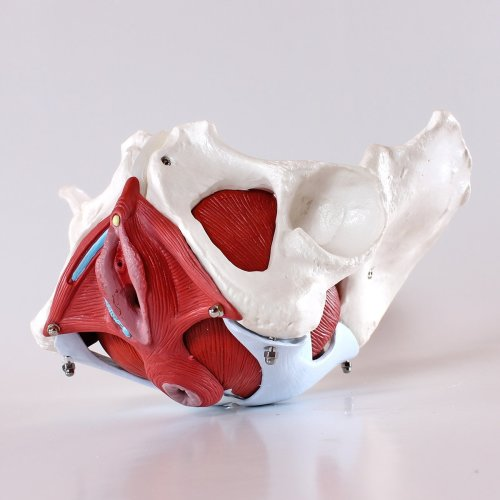 S24.3308 Medical Anatomical Female Pelvis Model with Removable Organs, 7-part, Life Size