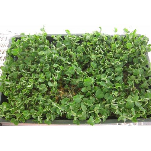 Salad - Pea Shoots - Serge - 400 Seeds