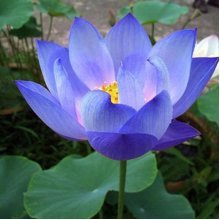 10Pcs Flower Seeds Blue Lotus Seeds Aquatic Plants Water Lily Plants Midnight Blue Lotus