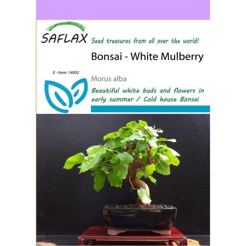 Saflax  - Bonsai - White Mulberry - Morus Alba - 200 Seeds