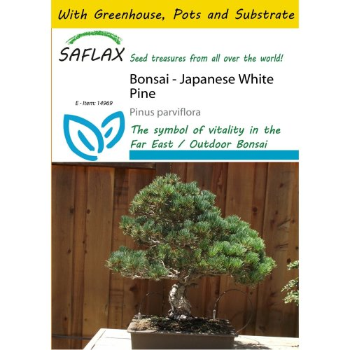 Saflax Potting Set - Bonsai - Japanese White Pine - Pinus Parviflora - 12 Seeds - with Mini Greenhouse, Potting Substrate and 2 Pots