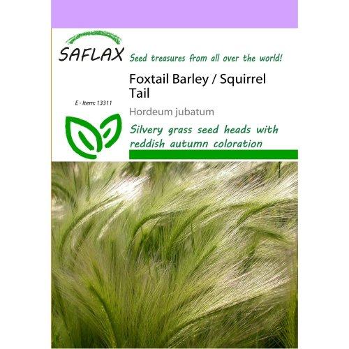 Saflax  - Foxtail Barley / Squirrel Tail - Hordeum Jubatum - 70 Seeds