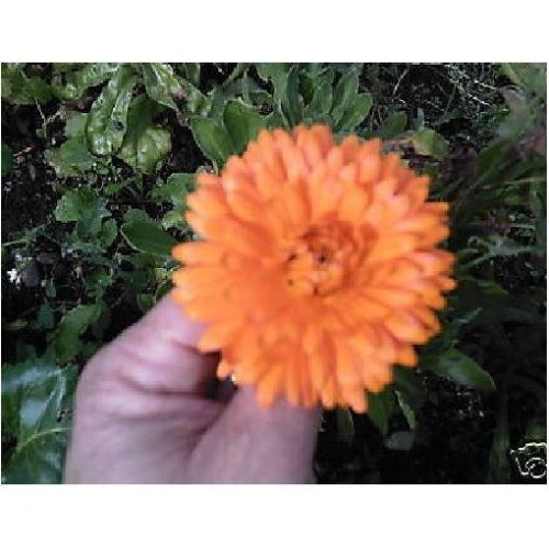 Flower - Calendula Officinalis - Pot Marigold - 150 Seeds