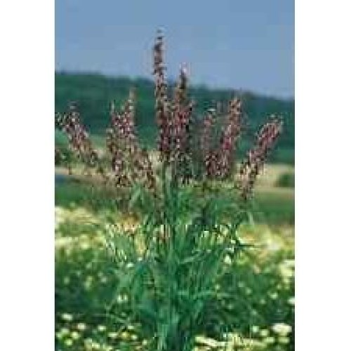 Grass - Red Spire - Melica Transsilvanica - 50 Seeds