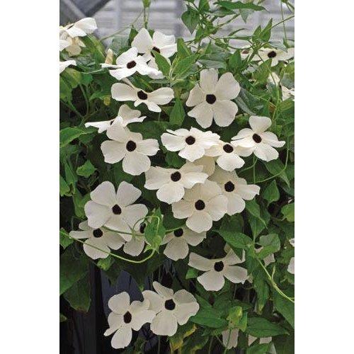 Flower - Thunbergia Susie - White Black Eye - 10 Seeds